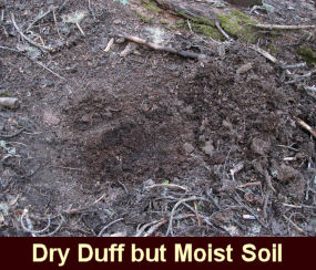 Photo of dry duff but a moist soil