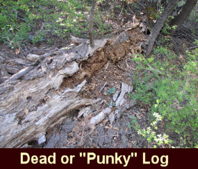Photo of a dead or 'punky' log