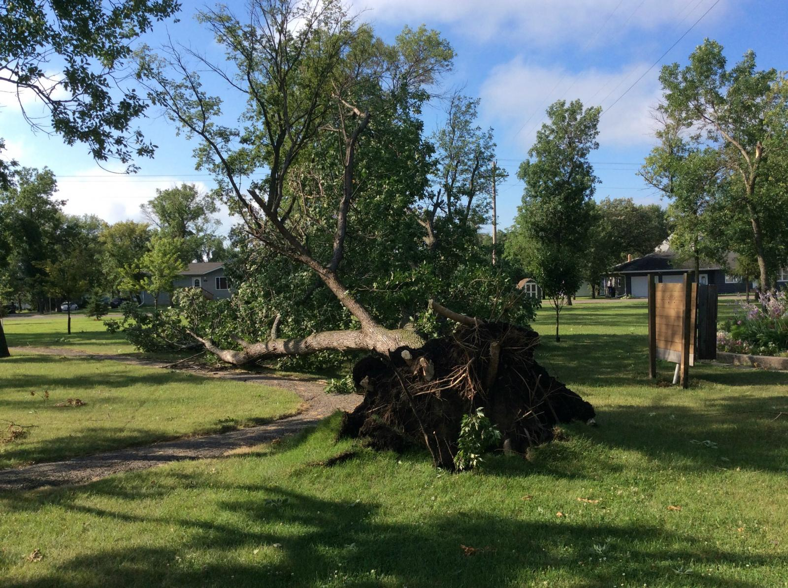 Tree uprooted in Groton Park