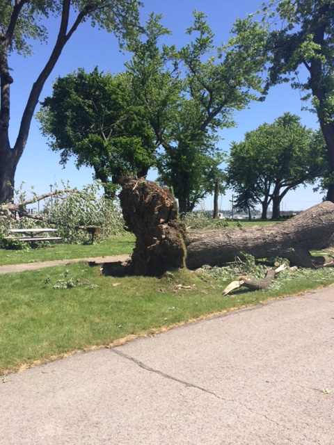 Tree Uprooted in Park in Sandusky