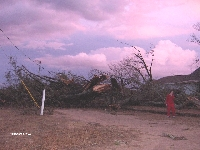 [ Massive tree felled in Wilcox County ]