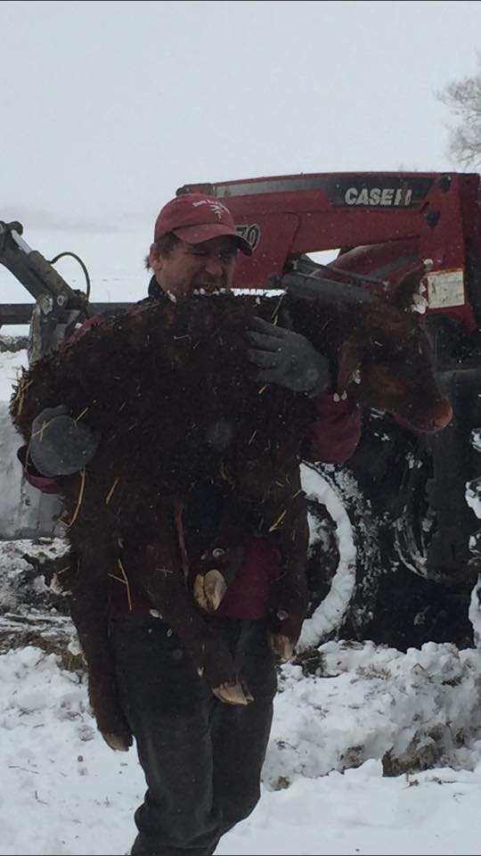 The blizzard struck during calving season, causing many farmers to go to extreme measures to protect the newborn livestock.