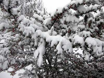 Picture of a tree with heavy snow from the February 14, 2004 snowstorm.