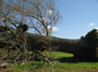 Large tree uprooted near Meridianville