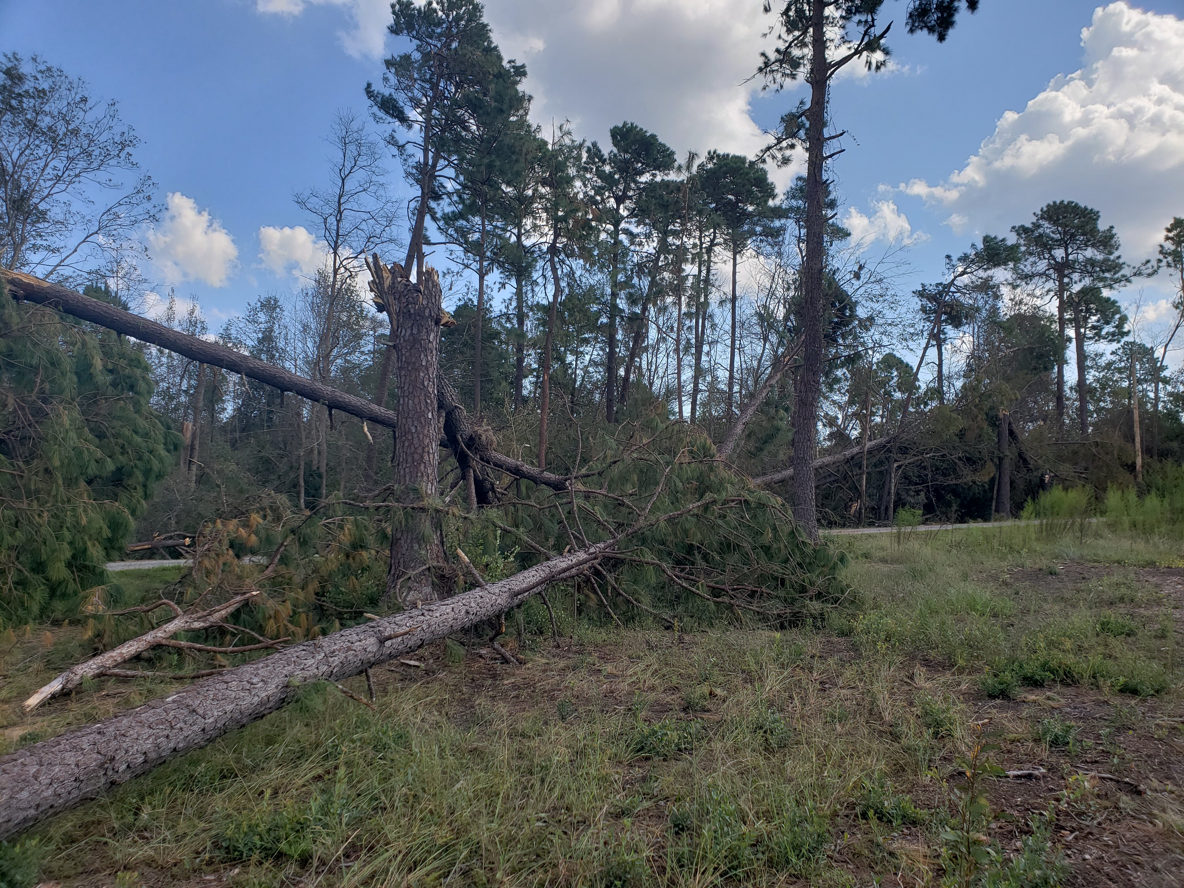 A pair of tornadoes touched down in the Bayshore community in northeastern New Hanover County during the evening hours of September 15th, producing this damage to trees.  Winds were estimated to have reached 85 mph. (Photo credit: NWS)