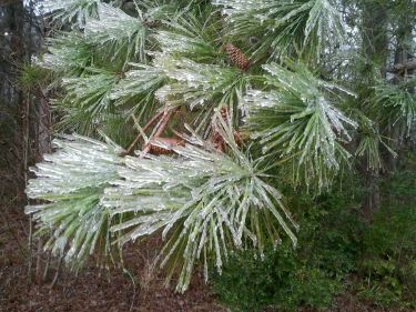 Pine trees at the NWS office in Wilmington are coated in a glaze of ice.  February 11-12, 2014