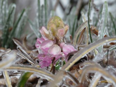 An early-blooming hyacinth is coated in a thick glaze of freezing rain during the February 11-12, 2014 ice storm in Wilmington.  Photo by NWS meteorologist Tim Armstrong