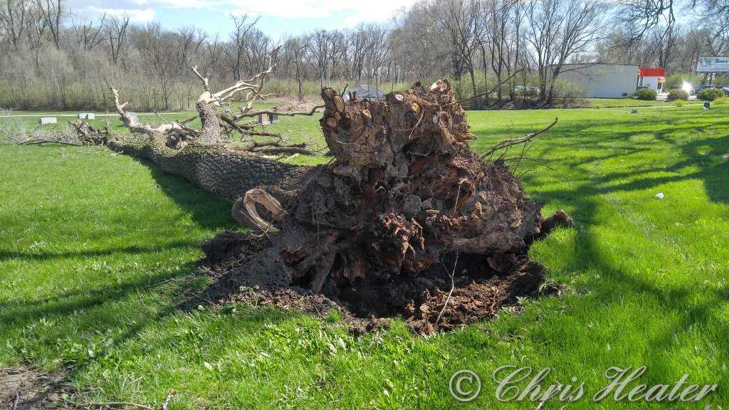 Tree uprooted in Urbana. Photo courtesy of Chris Heater