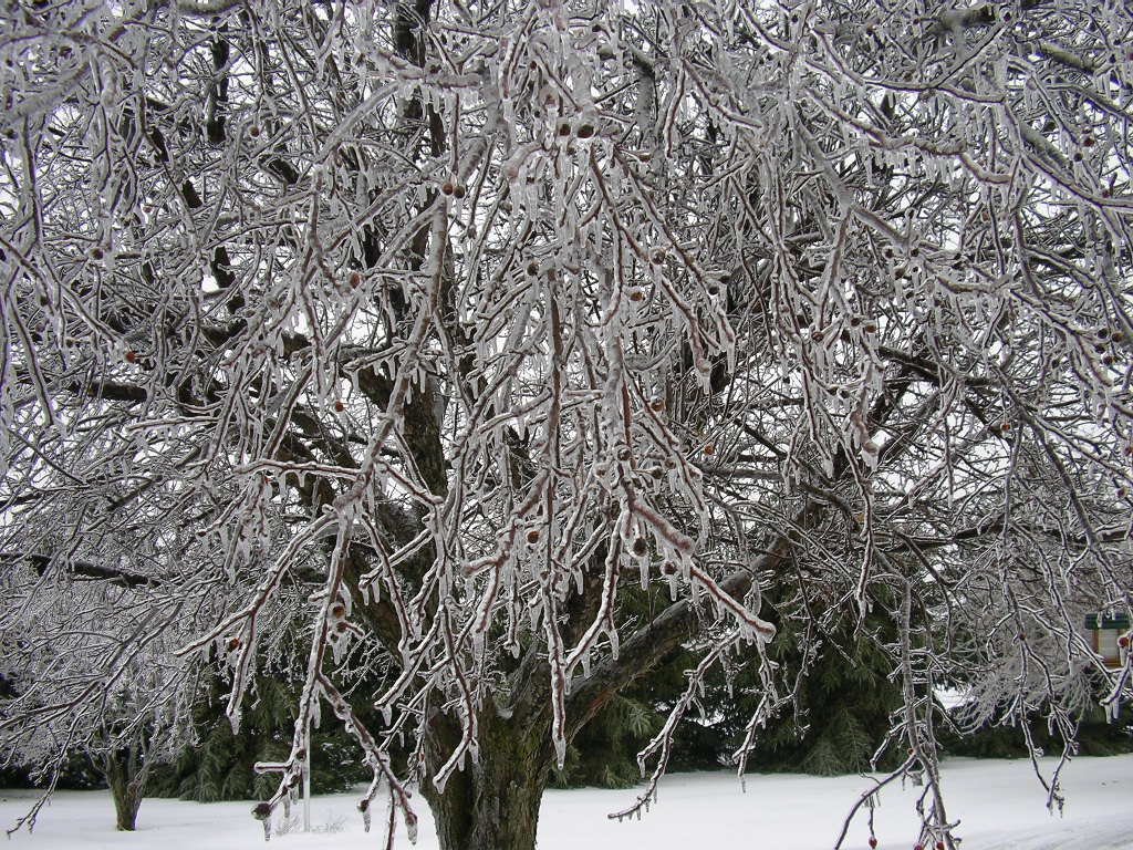 Crabapple tree covered in ice.