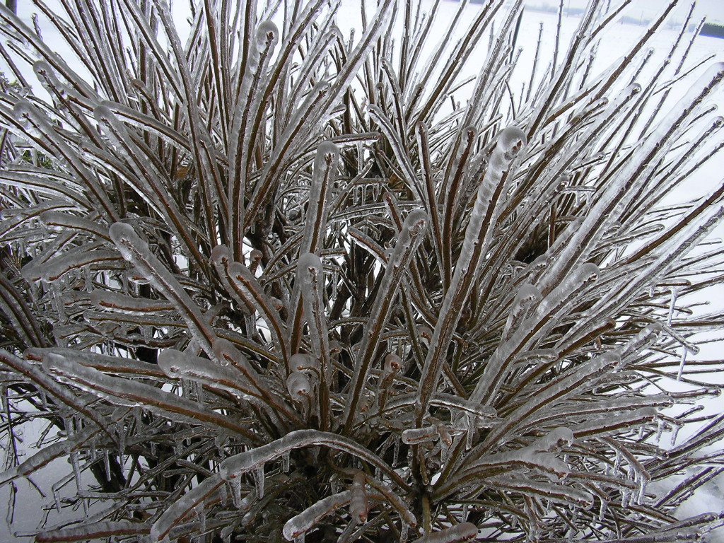 Clearly ice accumulation on the branches of a shrub, Napoleon, OH
