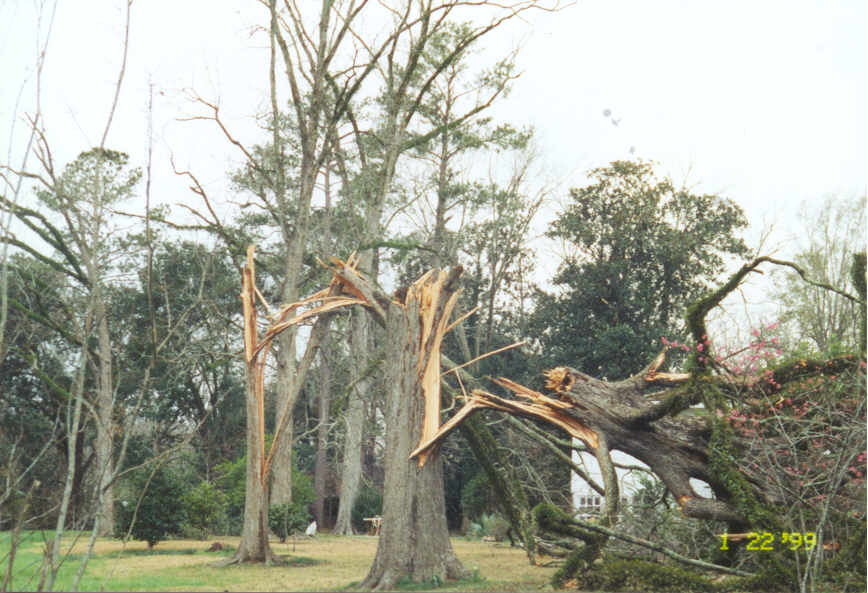 Very large trees snapped in half