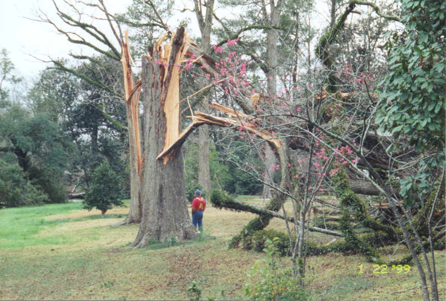 Another view of the snapped trees - note the tree base width