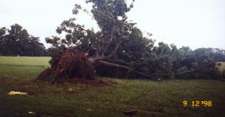 Tree completely blown over near Basile