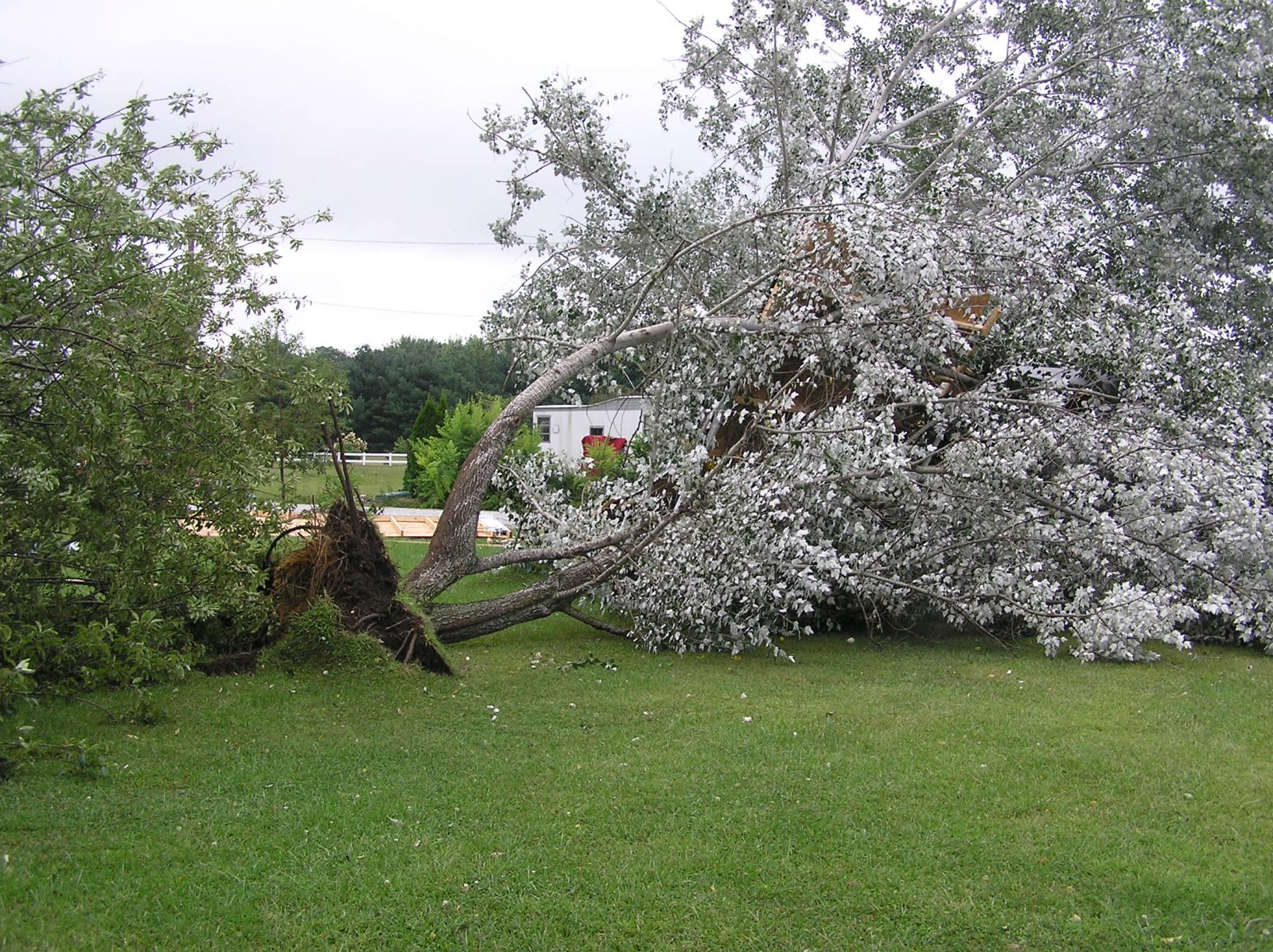 Another view of uprooted trees