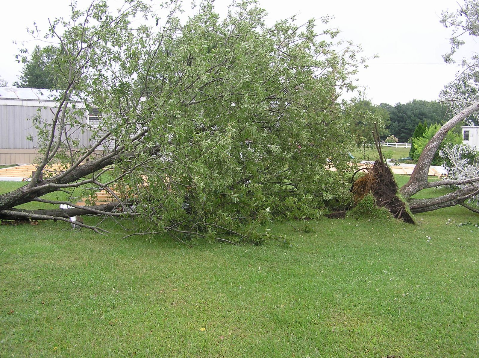 Two of four trees in the Heritage estates that were uprooted by the tornado