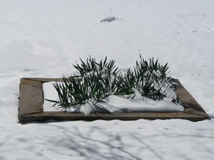 Picture of daffodils battling through the snow on Februrary 23, 2010.