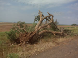 Tree downed by the strong winds west of Turkey.
