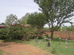 Tree damage resulting from strong straight-line winds. Click on the image for a larger view.