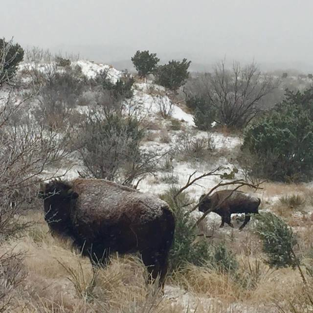 Wintry seen in Caprock Canyons State Park on February 23rd. The image is courtesy of Earl Nottingham.