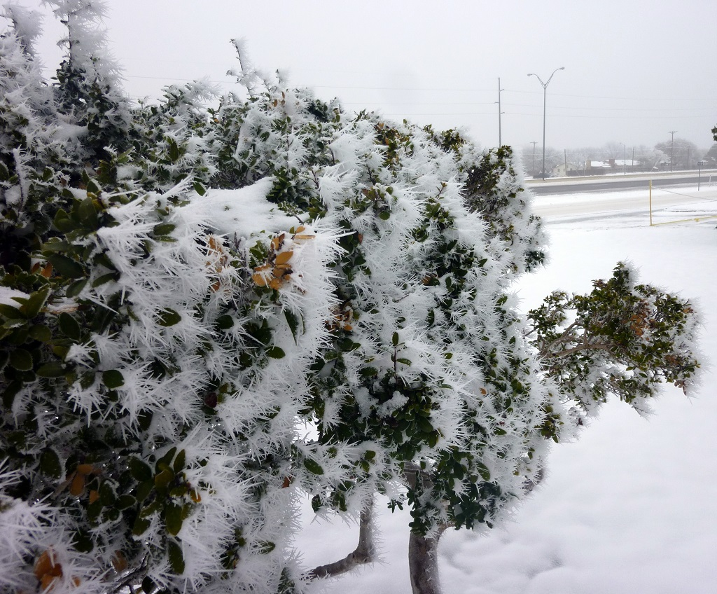 A view of incredible riming on a bush in Lubbock on March 1, 2015. Click on the image for a more detailed view.