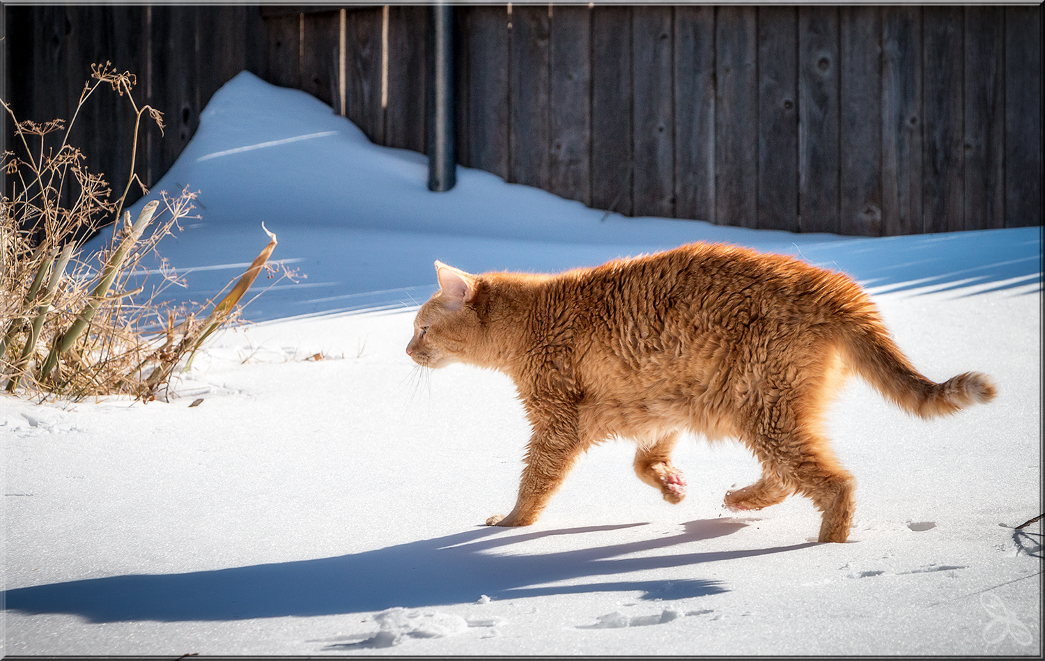An old cat enjoying a brief romp in the snow (courtesy of Erin Shaw).