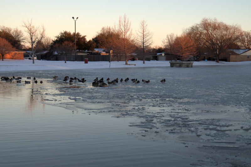 Ducks making the best of the winter weather in Lubbock.