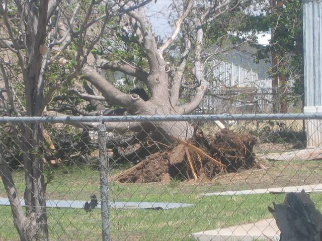 large, mature tree blown over by strong winds