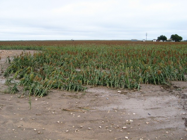 Photo of bent sorghum crops bent towards the north northeast near their bases.