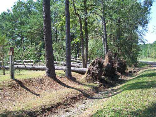 Trees uprooted by Hurricane Rita