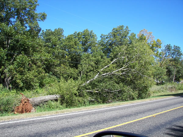 Tree toppled by the tornado