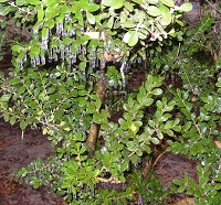 An ice-covered bush in De Funiak Springs, FL. Photo submitted to NWS Tallahassee via Facebook by Keith Wilson.