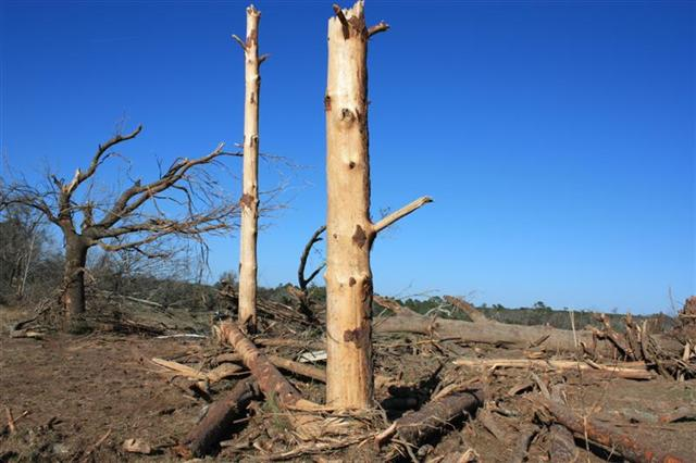 Large pine trees stripped of their bark and snapped in half near Boston, GA.  This damage was used to assign the EF-3 rating.
