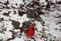 A cardinal amidst the sleet in Kinston, AL. Submitted to WTVY via Facebook.