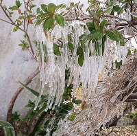 Icicles hang from a bush outside the Turlington Building in Downtown Tallahassee, FL. Photo submitted by the public via Twitter.