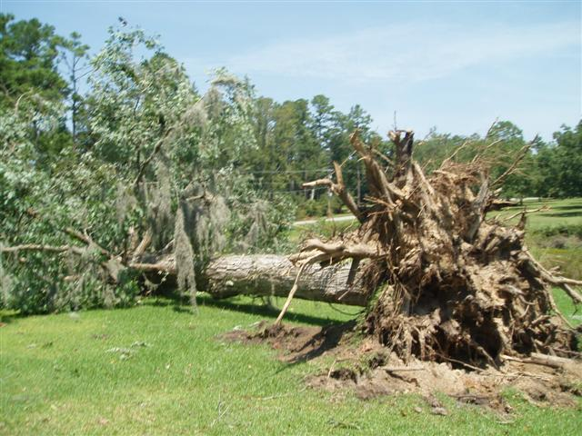 This image shows a large tree uprooted due to a downburst wind gust that occurred the evening of Tuesday, August 8, 2006, just east of Thomasville, GA.