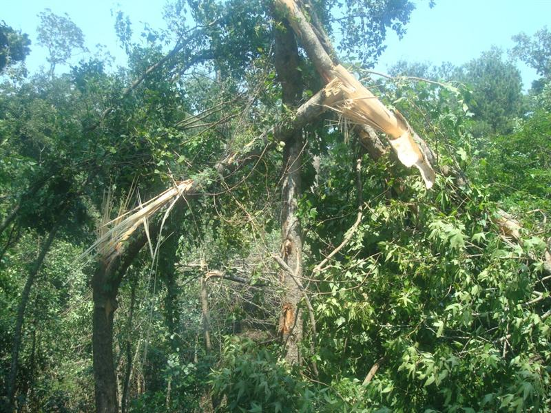 Tree damage in the Indianhead Acres neighborhood of Tallahassee from a severe thunderstorm that occurred on July 2, 2009.